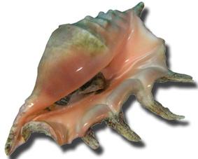 Mollusco perle Conch