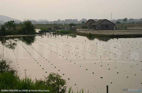 Allevamento perlifero in Cina, lago dall'acqua dolce et calma, più facile da lavorare rispetto alle coltivazioni nei mari e negli oceani che temono maremoti e correnti