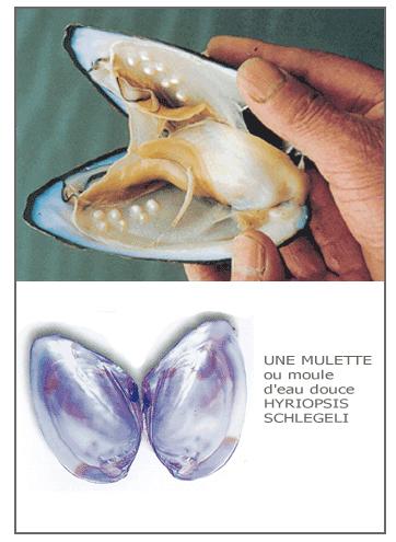 Mollusco d'acqua dolce che produce le perle d'Acqua Dolce non nucleate