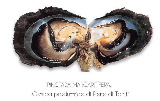 Ostrica produttrice di perle nere di Tahiti (Polinesiane)