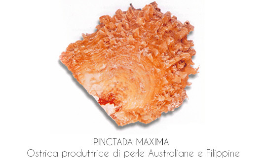 Ostrica produttrice di perle dei mari del sud (perle Australiane e Filippine)